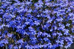 强烈的蓝色山梗菜erinus开花或边缘山梗菜,如在匈牙利中看到的庭院山梗菜墙壁  免版税库存照片