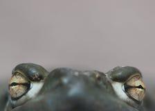 强烈的青蛙眼睛 免版税库存照片
