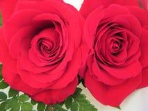 强烈的颜色和巨大秀丽美丽的花  库存照片
