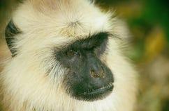 强的叶猴 库存照片