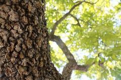 强的树干 库存照片