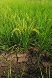 强的米 免版税库存图片