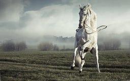 强的纯净的白马的意想不到的图片 免版税图库摄影