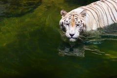 强的美丽的镇静白色老虎在水中 库存照片