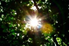强的阳光通过绿色叶子 图库摄影