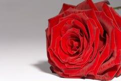 强记红色的玫瑰 库存图片
