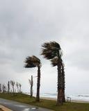 强风从海吹并且弯曲在海岸的棕榈 库存图片