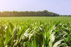 强,在领域的甚而玉米,岩石的形成的阶段,在晴朗的天空下 库存照片
