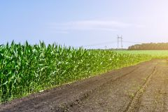 强,在领域的甚而玉米,岩石的形成的阶段,在晴朗的天空下 图库摄影
