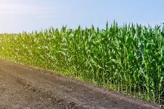 强,在领域的甚而玉米,岩石的形成的阶段,在晴朗的天空下 免版税库存图片