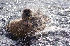 当一只母野鸭洗浴,浪花飞行 库存图片
