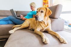 当一名成熟妇女在背景中时,与一台膝上型计算机一起使用拉布拉多在长沙发在 免版税库存照片