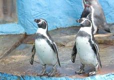 当事人企鹅游泳孪生 免版税库存照片