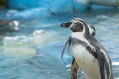 当事人企鹅游泳 免版税库存图片