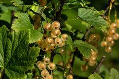 当前白色 庭院莓果 免版税图库摄影