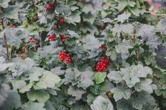 当前红色 在灌木的无核小葡萄干 库存照片