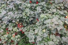 当前红色 在灌木的无核小葡萄干 免版税图库摄影