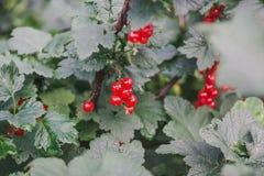 当前红色 在灌木的无核小葡萄干 免版税库存照片