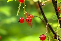 当前红色 庭院莓果 库存照片