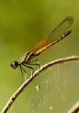 当取暖在太阳的温暖的Dakocan蜻蜓 免版税库存照片