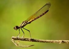 当取暖在太阳的温暖的Dakocan蜻蜓 库存照片