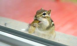 当吃花生时, A好奇东部花栗鼠通过我的从基石的窗口凝视外面 免版税图库摄影