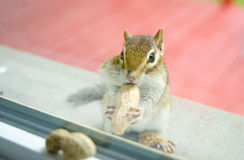 当吃花生时, A好奇东部花栗鼠通过我的从基石的窗口凝视外面 免版税库存照片