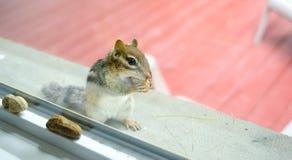 当吃花生时, A好奇东部花栗鼠通过我的从基石的窗口凝视外面 图库摄影