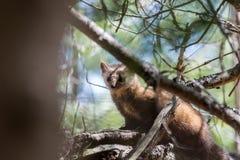 当地松貂在阿尔冈金省立公园 库存照片