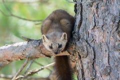 当地松貂在阿尔冈金省立公园 图库摄影