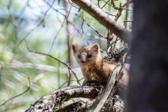 当地松貂在阿尔冈金省立公园 免版税库存图片