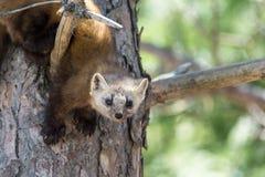 当地松貂在阿尔冈金省立公园 免版税库存照片