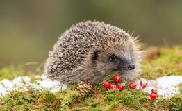 当地欧洲猬在冬天用红色莓果、雪和绿色青苔 免版税库存图片