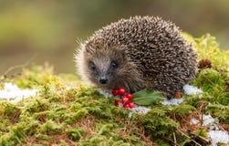 当地欧洲猬在冬天用红色莓果、雪和绿色青苔 图库摄影