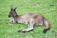 当地澳大利亚袋鼠 库存图片