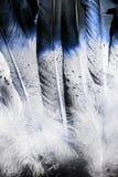 当地美洲印第安人羽毛宏观照片在蓝色的 免版税库存图片