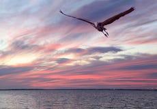 当太阳设置,伟大蓝色的苍鹭的巢飞行在海湾 免版税库存图片