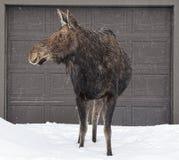 当她漫步入杰克逊,在早期的春天期间的怀俄明镇麋寻找她的小牛 库存照片