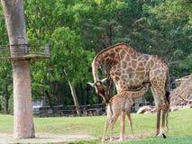 当妈妈拥抱她的在动物园展示爱和母性时的小牛新出生或小长颈鹿喝牛奶 免版税库存照片
