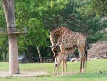 当妈妈拥抱她的在动物园展示爱和母性时的小牛新出生或小长颈鹿喝牛奶 免版税图库摄影