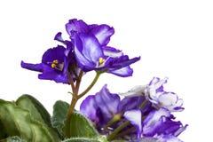 非洲紫罗兰 免版税库存图片