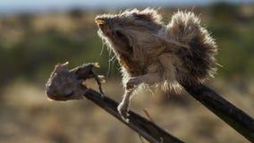 当它肢解它,百舌鸟使用脊椎作为屠户使用他的勾子拿着它的牺牲者 库存照片