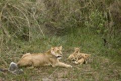 当幼童军她的雌狮serengeti坦桑尼亚 图库摄影