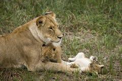 当幼童军她的雌狮serengeti坦桑尼亚 免版税库存照片