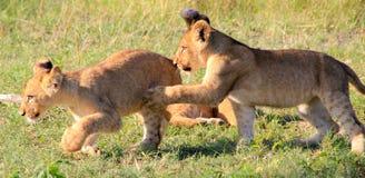 当幼童军搏斗的狮子 库存图片