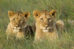 当幼童军放松的狮子 库存照片