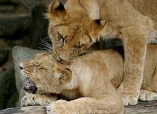 当幼童军演奏二个年轻人的狮子 库存图片