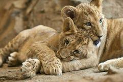 当幼童军狮子 库存照片