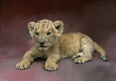 当幼童军狮子 免版税库存照片