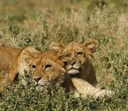当幼童军狮子serengeti 免版税图库摄影